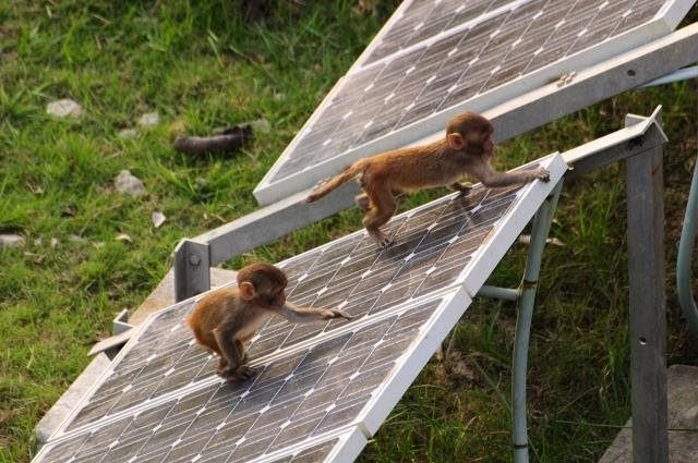 Monkeys damaging solar panel